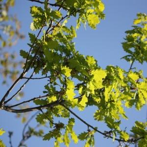 Photographie n°65912 du taxon Quercus robur L. [1753]