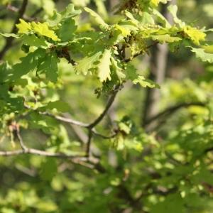 Photographie n°65913 du taxon Quercus robur L. [1753]