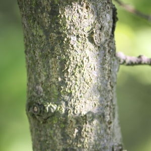 Photographie n°65914 du taxon Quercus robur L. [1753]