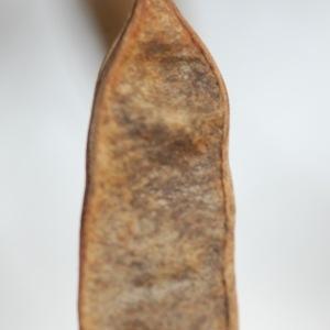 Photographie n°65938 du taxon Robinia pseudoacacia L.