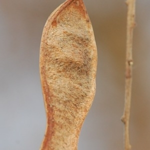Photographie n°65939 du taxon Robinia pseudoacacia L.