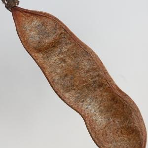 Photographie n°65942 du taxon Robinia pseudoacacia L.