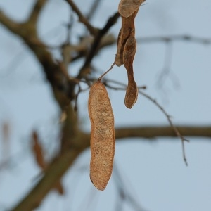 Photographie n°65947 du taxon Robinia pseudoacacia L.