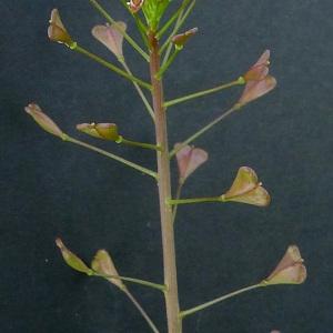 Photographie n°66052 du taxon Capsella rubella Reut. [1854]