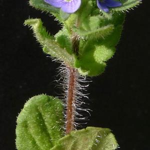 Photographie n°66059 du taxon Veronica arvensis L.