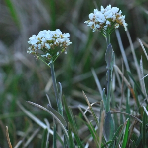 Noccaea montana (L.) F.K.Mey. (Tabouret des montagnes)