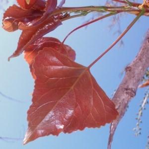Photographie n°66107 du taxon Populus nigra L.