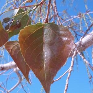 Photographie n°66108 du taxon Populus nigra L.