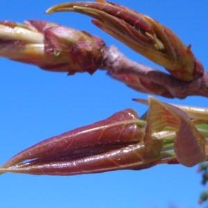 Photographie n°66109 du taxon Populus nigra L.