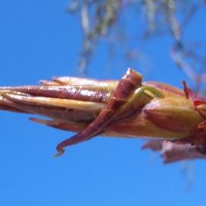 Photographie n°66110 du taxon Populus nigra L.