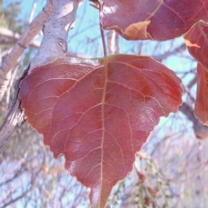 Photographie n°66113 du taxon Populus nigra L.
