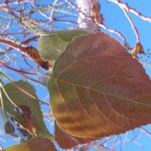 Photographie n°66115 du taxon Populus nigra L.