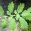 Liliane Roubaudi - Chelidonium majus L.