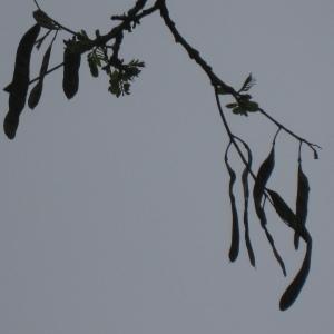 Photographie n°66199 du taxon Robinia pseudoacacia L.