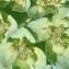 Genevieve Botti - Euphorbia helioscopia L. [1753]