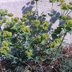 Photographie n°66334 du taxon Euphorbia serrata L. [1753]