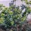 Genevieve Botti - Euphorbia serrata L. [1753]