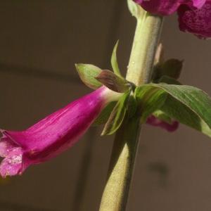 Photographie n°66494 du taxon Digitalis purpurea L.