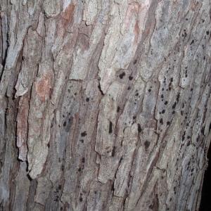 Photographie n°66632 du taxon Arbutus unedo L. [1753]