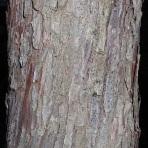 Photographie n°66633 du taxon Arbutus unedo L. [1753]