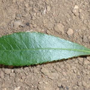 Photographie n°66661 du taxon Arbutus unedo L. [1753]