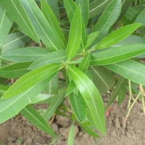 Photographie n°66848 du taxon Nerium oleander L. [1753]