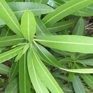 Photographie n°66849 du taxon Nerium oleander L. [1753]