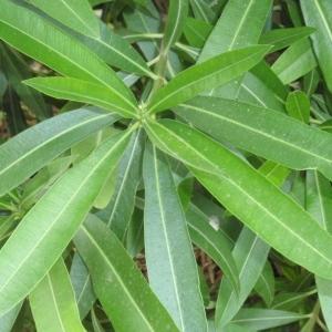 Photographie n°66850 du taxon Nerium oleander L. [1753]