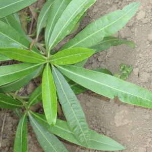 Photographie n°66851 du taxon Nerium oleander L. [1753]