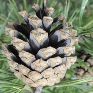 Photographie n°66855 du taxon Pinus sylvestris L. [1753]
