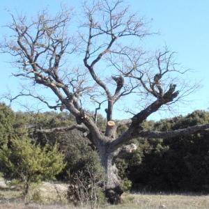 Photographie n°66969 du taxon Quercus pubescens Willd. [1805]