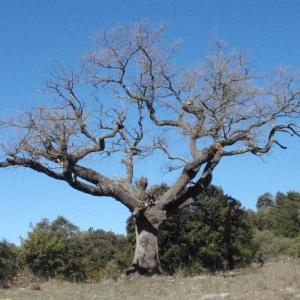 Photographie n°66970 du taxon Quercus pubescens Willd. [1805]