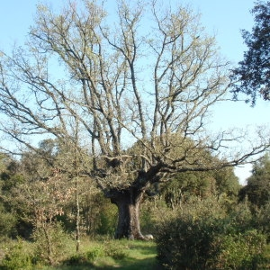 Photographie n°66972 du taxon Quercus pubescens Willd. [1805]