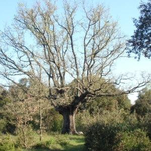 Photographie n°66973 du taxon Quercus pubescens Willd. [1805]