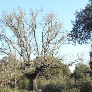 Photographie n°66974 du taxon Quercus pubescens Willd. [1805]