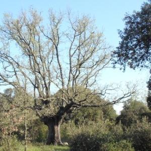 Photographie n°66975 du taxon Quercus pubescens Willd. [1805]