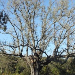 Photographie n°66978 du taxon Quercus pubescens Willd. [1805]