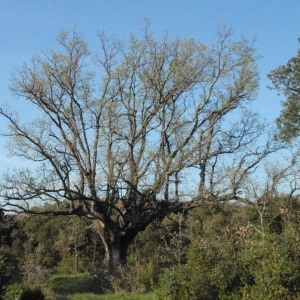 Photographie n°66979 du taxon Quercus pubescens Willd. [1805]
