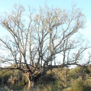 Photographie n°66980 du taxon Quercus pubescens Willd. [1805]