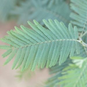 Photographie n°67014 du taxon Acacia dealbata Link [1822]