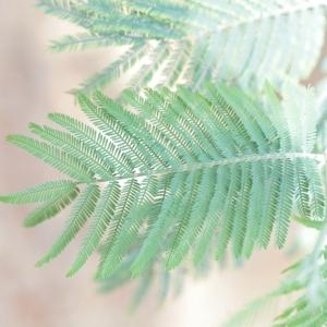 Photographie n°67015 du taxon Acacia dealbata Link [1822]