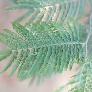 Photographie n°67016 du taxon Acacia dealbata Link [1822]
