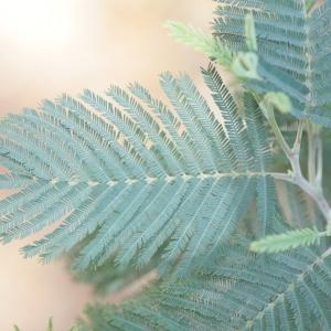 Photographie n°67017 du taxon Acacia dealbata Link [1822]
