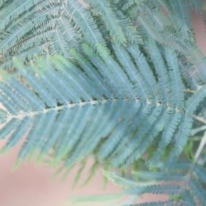 Photographie n°67018 du taxon Acacia dealbata Link [1822]