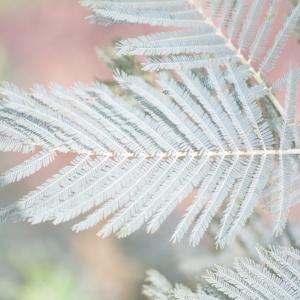 Photographie n°67019 du taxon Acacia dealbata Link [1822]