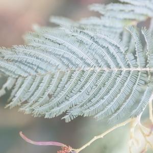 Photographie n°67020 du taxon Acacia dealbata Link [1822]