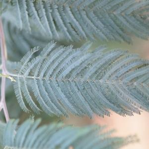 Photographie n°67021 du taxon Acacia dealbata Link [1822]