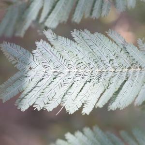 Photographie n°67022 du taxon Acacia dealbata Link [1822]