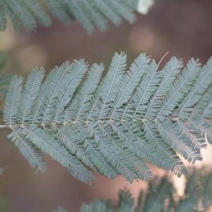 Photographie n°67026 du taxon Acacia dealbata Link [1822]