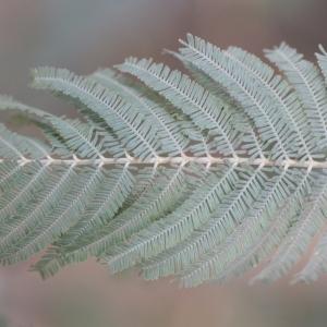Photographie n°67027 du taxon Acacia dealbata Link [1822]